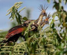 Foto cigana (Opisthocomus hoazin) por André Mendonça | Wiki Aves - A Enciclopédia das Aves do Brasil