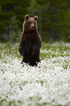 Brown bear (by andrea.marzorati)