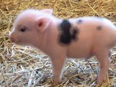 Image result for baby teacup pig for sale