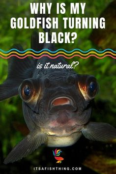 Is your goldfish turning black? Does this worry you? We take a deep dive look at this phenomenon in our latest guide. Why is my Goldfish Turning Black? Is it Natural? Or Cause for Concern? Biotope Aquarium, Aquarium Fish Tank, Cheap Fish Tanks, Goldfish Care, Fish Tank Cleaning, Aquarium Design, Aquarium Ideas, Tropical Fish Tanks, Fishing For Beginners