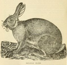 Belgian Hare. The rabbit, how to select, breed and manage the rabbit for pleasure or profit. 1916.