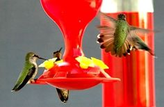 Can I Put a Hummingbird Feeder With Other Bird Feeders? Link above gives everything you ever wanted to know about Hummers! Great birding resource.