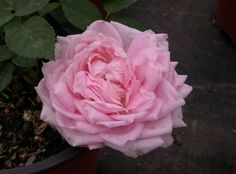 Chamblee's Rose Nursery - A Mail Order Nursery You Should Know. Click here to learn more, http://www.finegardening.com/item/26084/chamblees-rose-nursery-a-mail-order-nursery-you-should-know