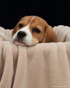 Beagle #puppy