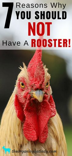 7 Reasons Why You Should Not Have A Rooster, Raising Chickens Ideas, Backyard Chickens Ideas, Chickens On The Homestead, Chicken Care