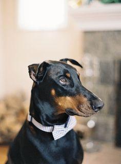 doberman pinscher | dog bowtie | photo by JenHuangPhoto.com