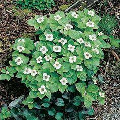Cornus Canadensis Or Bunchberry