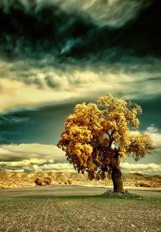 ~~The Garden of the Hesperides ☰ golden lone tree landscape, Villalba del Rey, Spain by Ӻotoαguαdo⓭~~
