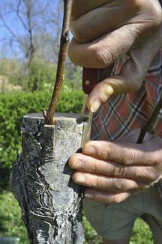 Grafting fruit trees for health and vitality.