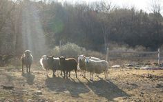 Bedlam Farm Sheep