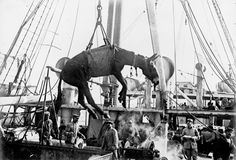 World War I in Photos: Animals at War - The Atlantic;http://www.theatlantic.com/static/infocus/wwi/wwianimals/