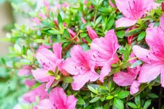 Moist soil and 100 percent humidity help to ensure the success of azalea plant cuttings. Cuttings from evergreen plants work best in June through September, but deciduous varieties root best from cuttings taken in mid-May.
