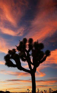 Joshua Tree. Who doesn't LOVE Joshua Trees ?!?!