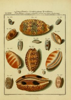 1 Bd. (1769) - Neues systematisches Conchylien-Cabinet / - Biodiversity Heritage Library