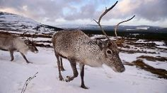 Amazing Places to See Reindeer Around the World (PHOTOS)