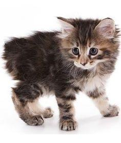 manx cats | The Manx Cat - Cat Breeds Encyclopedia