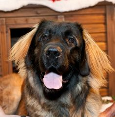 http://www.dogster.com/photoviewer/breed/Leonberger