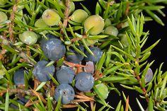 ENEBRO. Juniperus communis... Es una especie de distribución circumboreal, que en la Península está ampliamente extendida (Enebro, jabino; ginebre (cat.); cimbro (gall.); zimbro comum (port.)