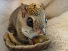 Baby Squirrel wearing an Acorn Hat. Adorable!