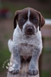 Lab mix puppies 3 is an adoptable Labrador Retriever Dog in Fulton, MO. You wouldn't think these tri color babies are litter mates to the chocolate labs and the black labs but they are! They are 7 wee...