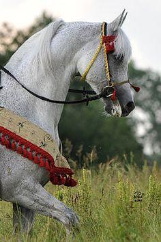PIAFF (PL) 30.1.1997 Pure Polish grey Arabian stallion. Eldon {Penitent x Erotykan by Eufrat} x Pipi {Banat x Pilarka by Palas} Bred and owned by Janów Podlaski Stud, Poland. Leased to Vlasakker Arabians, Holland 2002. Leased to Aria Arabians, USA, 2006|7. Returned to Poland 2007. WAHO Trophy Winner 2011