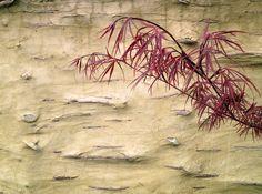 Roodbladige Japanse esdoorn (Acer palmatum 'Villa Taranto') kleurt mooi bij de lemen wand.