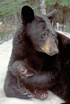 Mother black bear tending to her tiny cub's every need. Animals And Pets, Baby Animals, Cute Animals, Wild Animals, Beautiful Creatures, Animals Beautiful, Bear Cubs, Grizzly Bears, Tiger Cubs