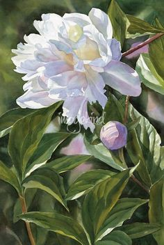 White Peony with Bud by Sharon Freeman