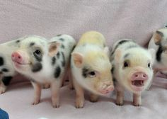 juliana pig piglets!! And yes these are piglets, although juliana pigs are a smaller breed of pig there is no such thing as a teacup pig, only a malnourished genetically modified one..do your research.