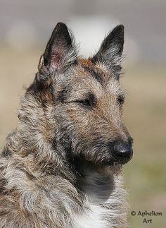 Laekenois (a.k.a. Belgian Shepherd Dog) is not fully recognized in the United States but can be shown in Britain, Canada, Australia, and throughout Europe.