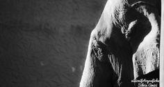 Elefante http://www.visionifotografiche.it/portfolio/elefante #photography   #fotografia   #fotografianatura   #elefante   #elephant