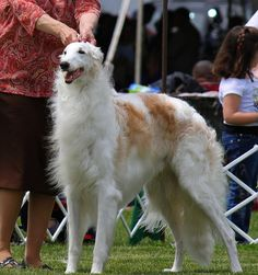 Borzoi show dog looking good and posing for the judge