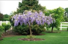 HOW TO TRAIN WISTERIA INTO A TREE FORM: http://homeguides.sfgate.com/train-wisteria-tree-48706.html Warning: Do not wind the main stem around the support post as it grows. This will result in a weakly stemmed tree, unable to support future growth.