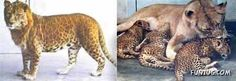 Leopon = leopard + lion                  The Leopon is the result of breeding a male leopard with a female lion. The head of the animal is similar to that of a lion while the rest of the body carries similarities to leopards. The first documented leopon was bred at Kolhapur, India in 1910