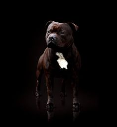 Uplifting So You Want A American Pit Bull Terrier Ideas. Fabulous So You Want A American Pit Bull Terrier Ideas. Beautiful Dogs, Animals Beautiful, I Love Dogs, Cute Dogs, English Staffordshire Bull Terrier, Nanny Dog, Bully Dog, Pit Bull Love, Bull Terrier Dog