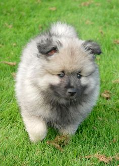 Keeshond puppies (12) by Mark Sobba, via Flickr
