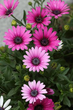 Chrysanthemum – Available as large individual showy blooms, or the spray variety. Very long lasting (crisantemos) Flowers Nature, Exotic Flowers, Amazing Flowers, Pink Flowers, Beautiful Flowers, Amazing Gardens, Beautiful Gardens, Dame Nature, Trees To Plant