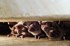 Bat Conservation International (BCI) supports operations at Bracken Bat Cave in…