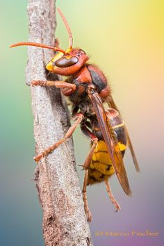 Hornet (Vespa crabro), by Marco Fischer Types Of Bees, Cool Bugs, Insect Photography, Bees And Wasps, Insect Art, Bugs And Insects, Hornet, Pet Portraits, Beautiful Creatures
