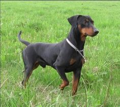 German Pinscher. They are members of the working group. They are great watchdogs and companions. They stand at 17-20 inches at the shoulder and weigh about 25-35 pounds.