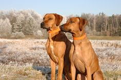 TOP 7 DOG BREEDS FOR HIKING **I knew the Rhodesian Ridgeback would be on this list. Dedicated to a dear friend. <3