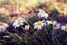 #flowers #green #grass #margaridas