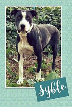 TOWER CITY, PA - SYBLE is a Pit Bull Terrier for adoption in Tower City, PA who needs a loving home.