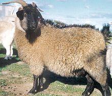 Cashmere goat - Wikipedia, the free encyclopedia