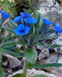 """Anchusa tinctoria """"Dyer's Bugloss"""""""