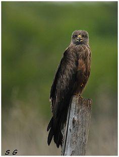 Milan noir  (Milvus migrans) (Black Kite)    en Aquitaine