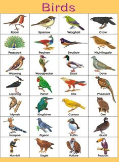 Charts of birds name for kids, Basic Birds names. Birds name Chart with pictures. Help your Child recognize and learn birds names with pictures.