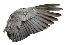This is some amazing reference for how a wing opens and closes, and the structure of the feathers as it does so. Description from pinterest.com. I searched for this on bing.com/images