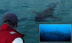 Filmmaker hunts superpredator believed to have eaten a 10ft Great White Shark