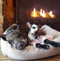 Pig and goat snuggle in front of fireplace | 'I traded high heels for muck boots' Woman tells how she quit a stressful, high-flying job in New York City to raise baby goats on a farm and she says she's happier than ever | Daily Mail